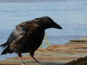 Bird - Crow